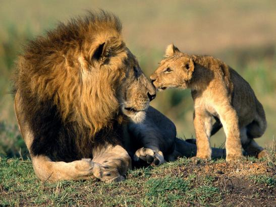 lion-and-cubs